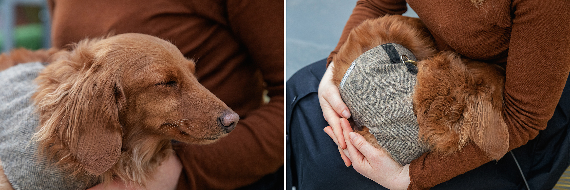 Two detail images of Goldie the dog sleeping